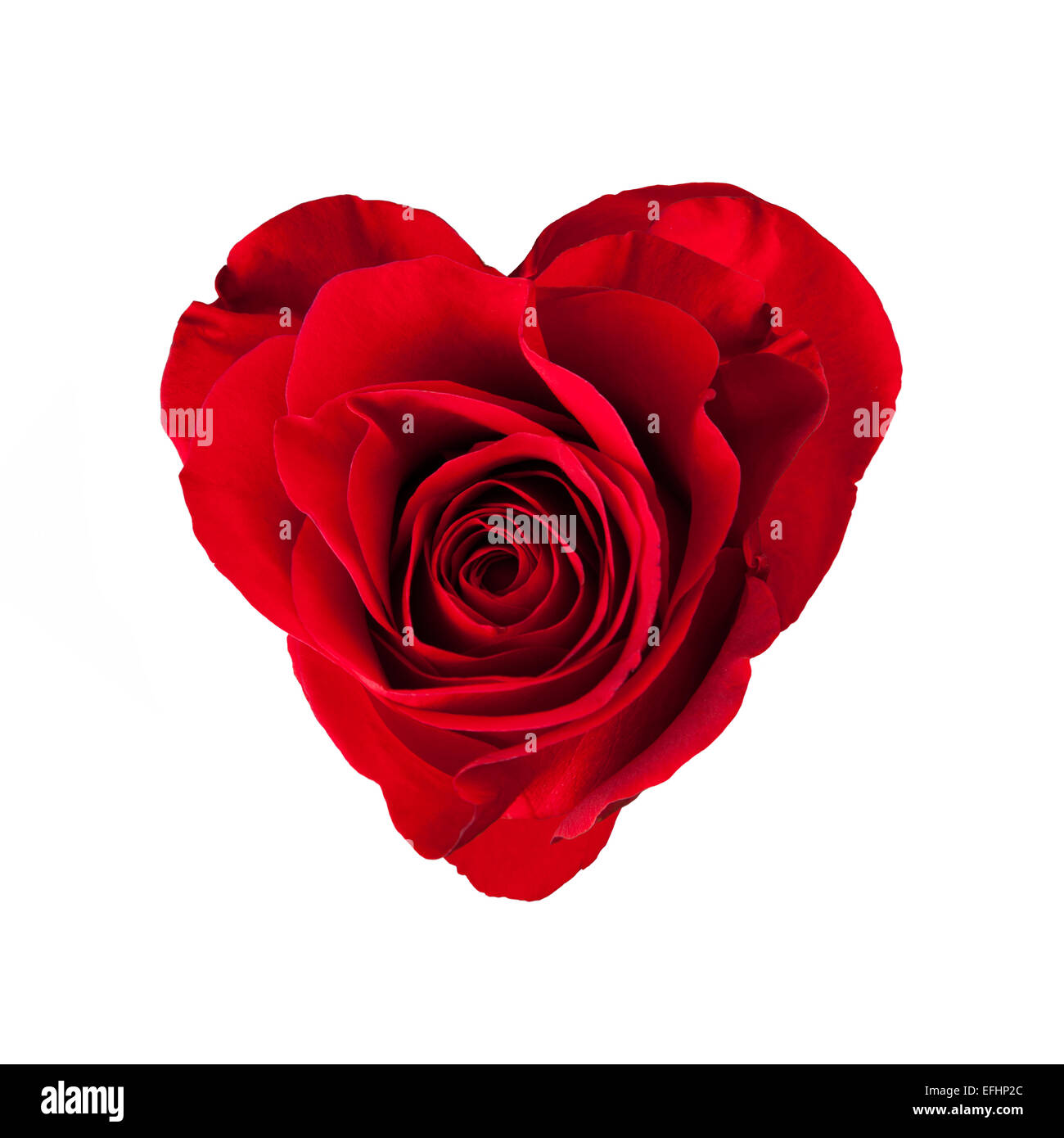 Red rose blossom in heart shape, isolated on white background - Stock Image