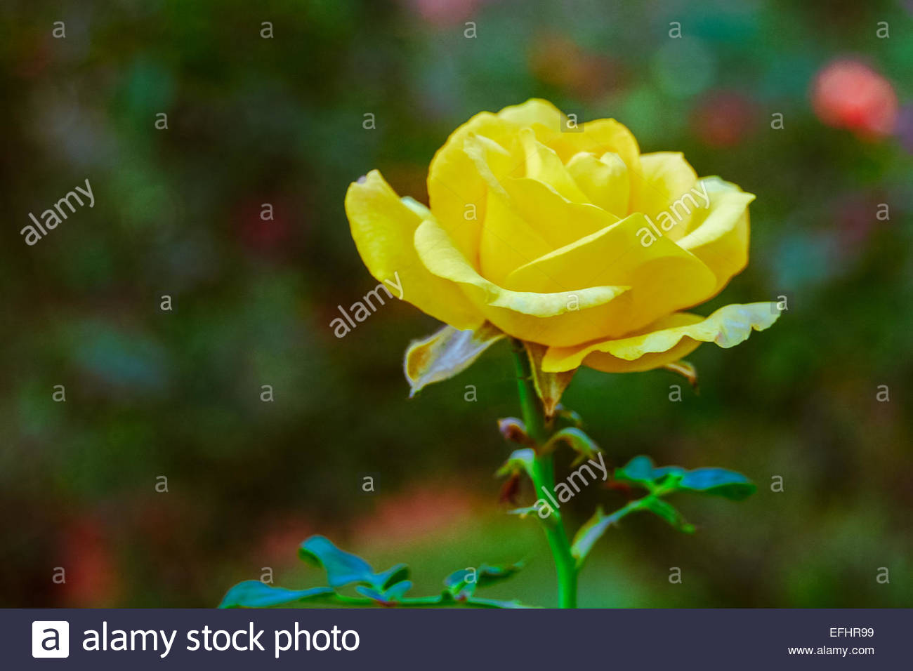 Yellow color rose flower in green background stock photo 78452789 yellow color rose flower in green background mightylinksfo