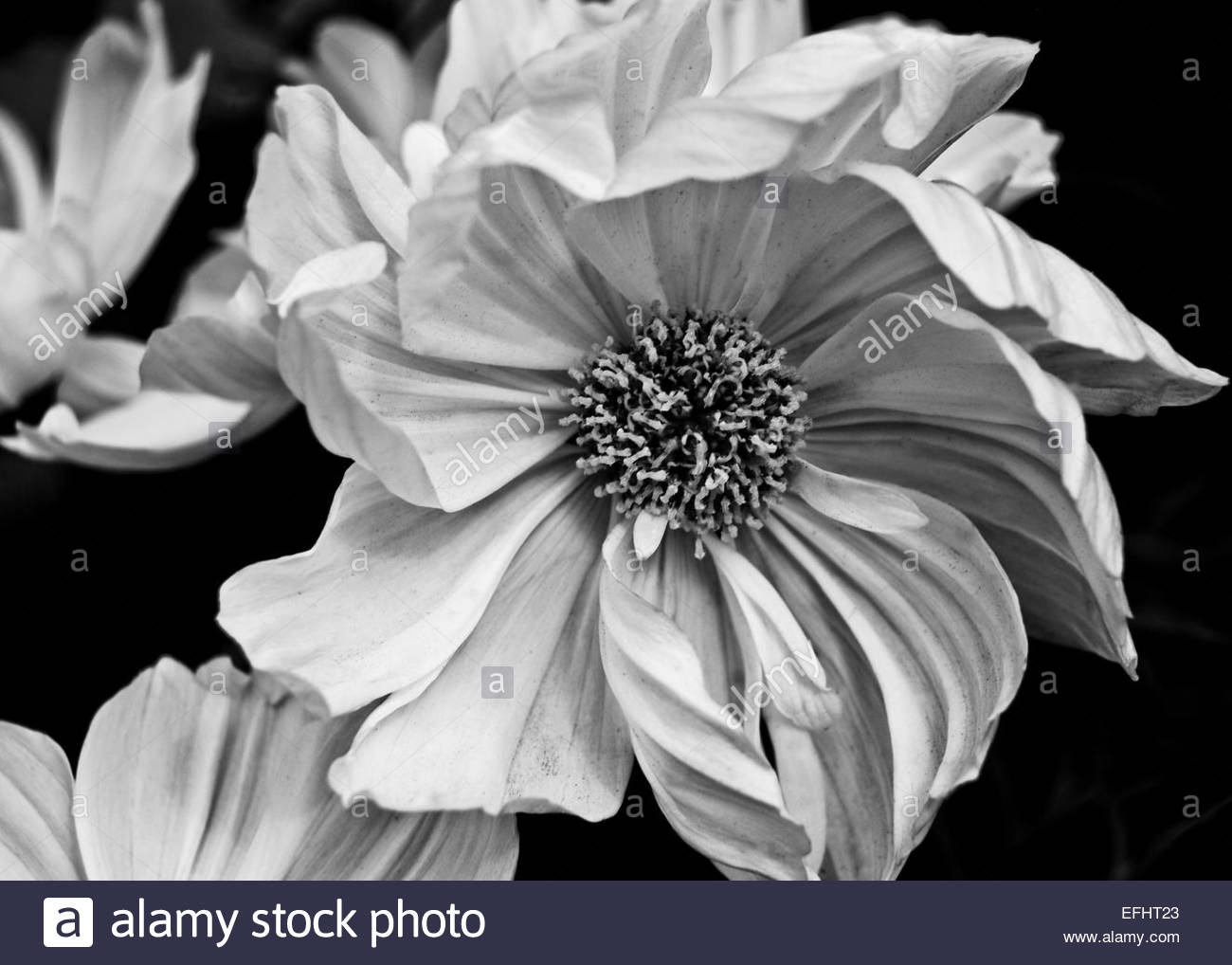 Dahlia Black And White Stock Photos Images Alamy