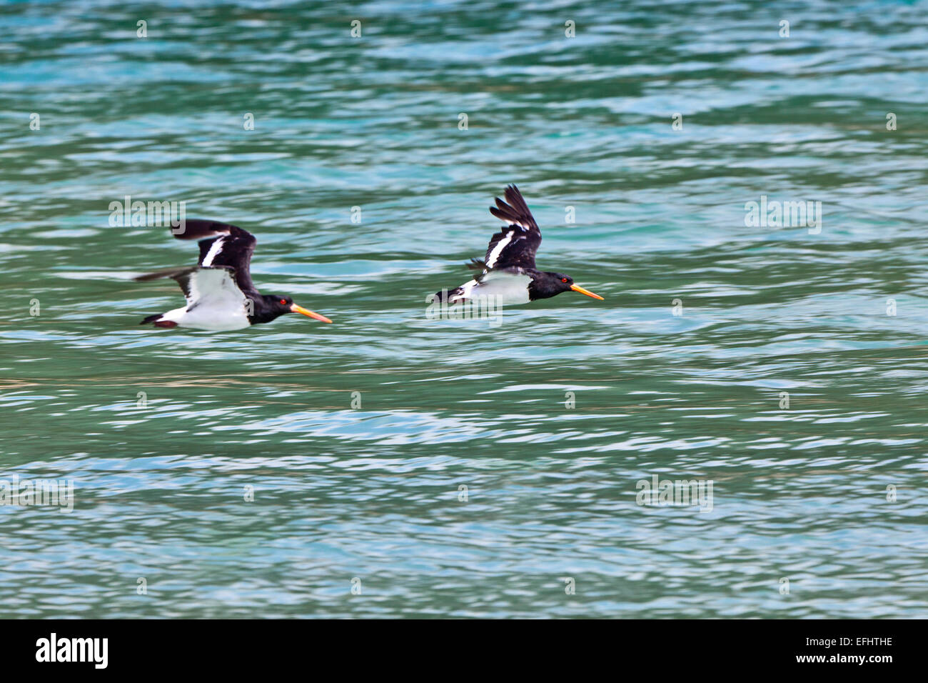 A pair of flying oystercatcher birds, Awaroa Inlet, Abel Tasman Coastal Track, Great Walks, north-west of South Stock Photo