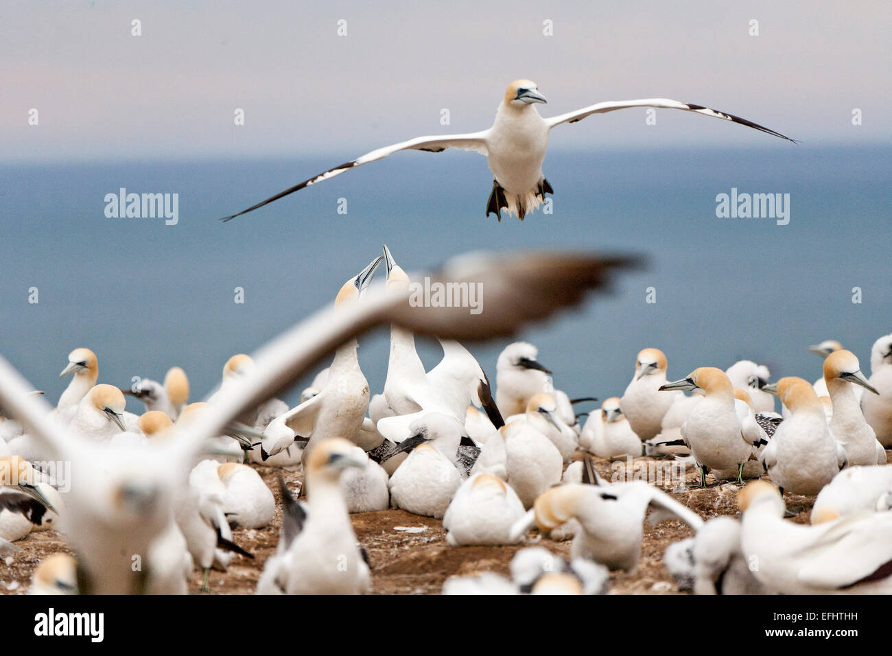 Australasian Gannet in flight, Breeding colony at Cape Kidnappers, Gannet Reserve, Hawke's Bay, North Island, - Stock Image