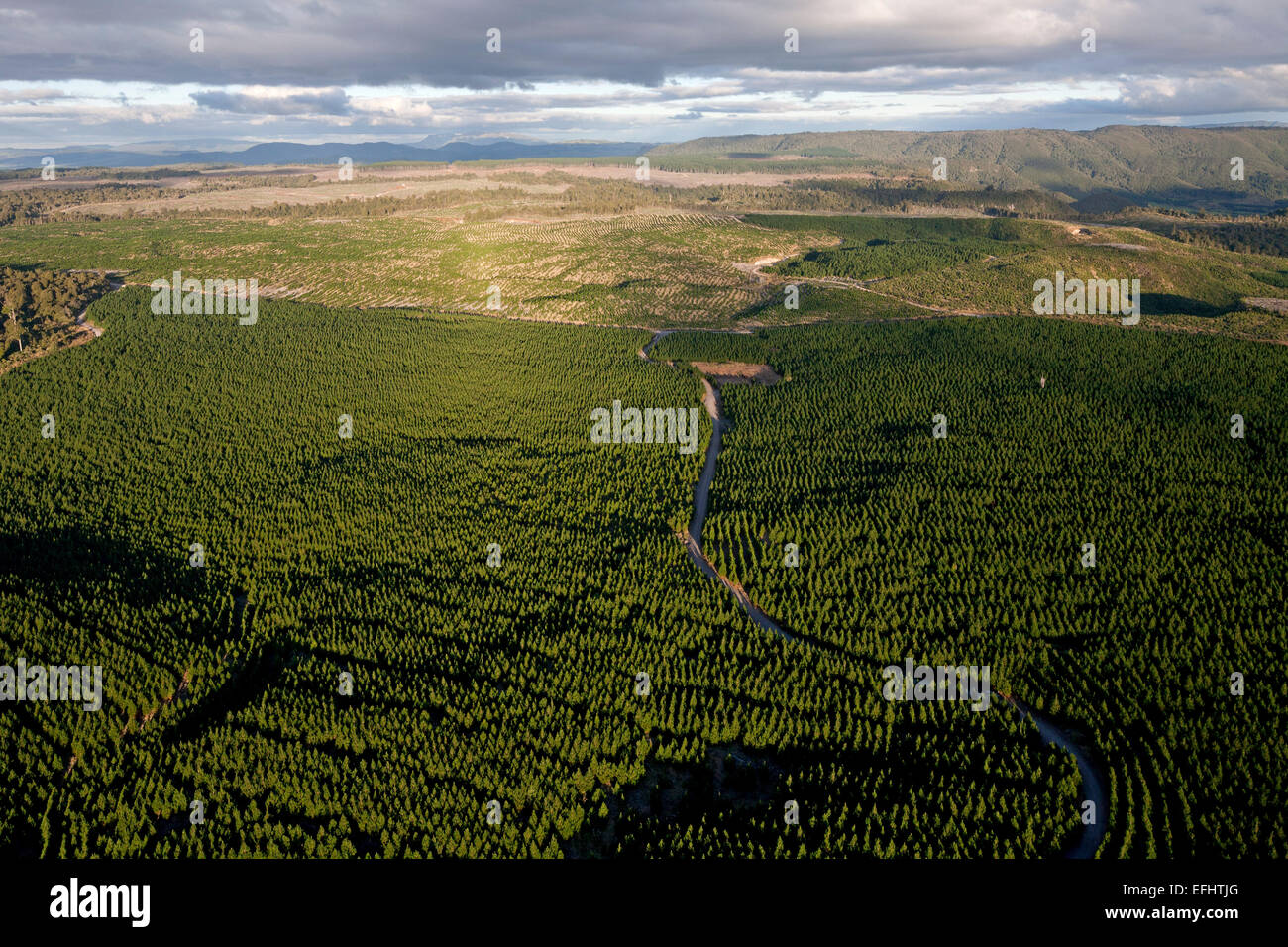 Aerial of pine timber plantations, Kaingaroa Forest Plantage, Monoculture between the coast and Lake Taupo, Bay - Stock Image