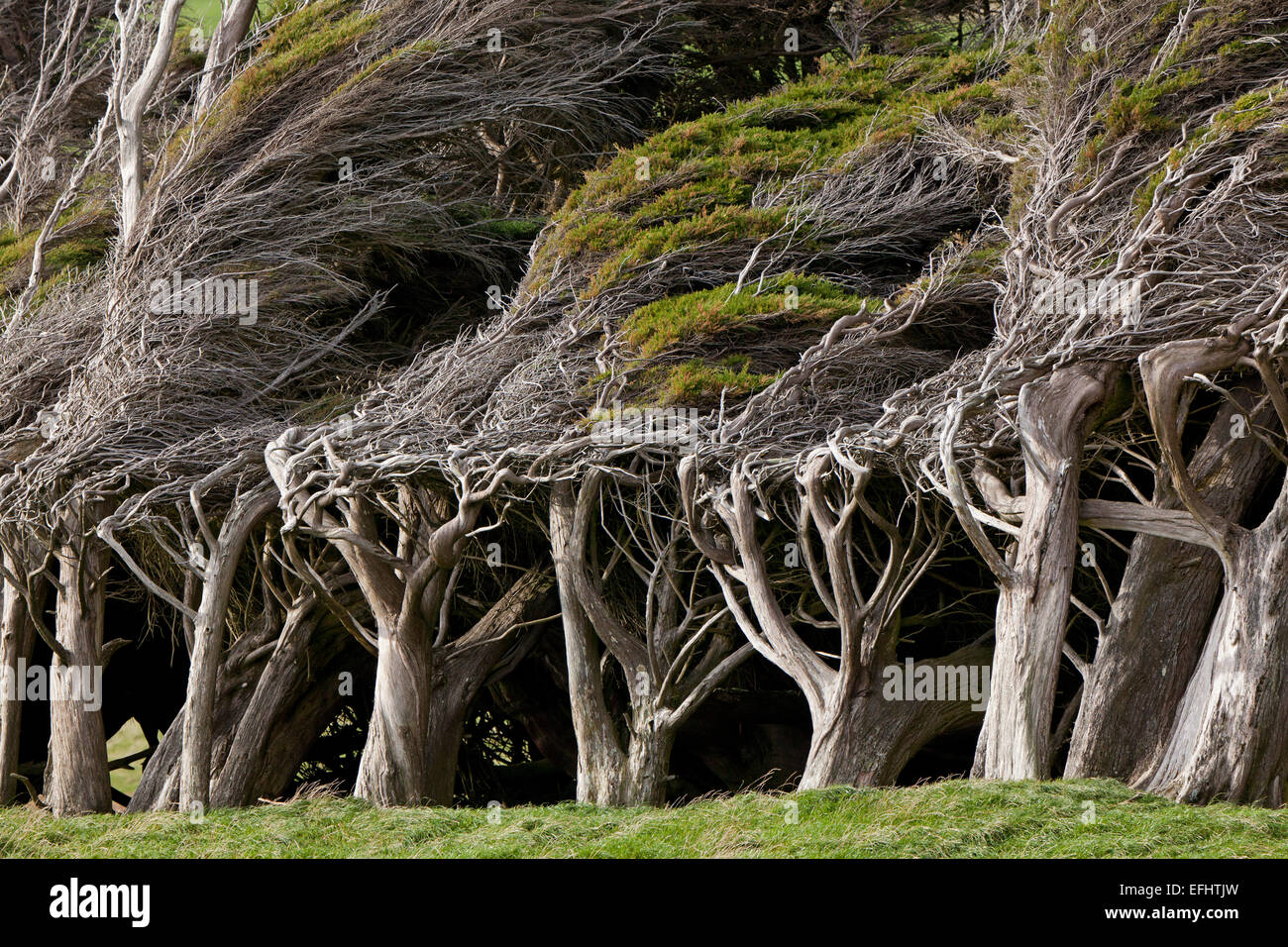 Wind sculpted trees, macrocarpa trees, Slope Point, Catlins, most southerly point of South Island, New Zealand - Stock Image