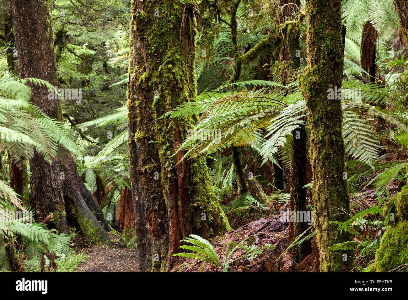 Primeval forest with tree ferns and tree trunks covered in moss, Lake Waikaremoana, Te Urewera National Park, Children - Stock Image