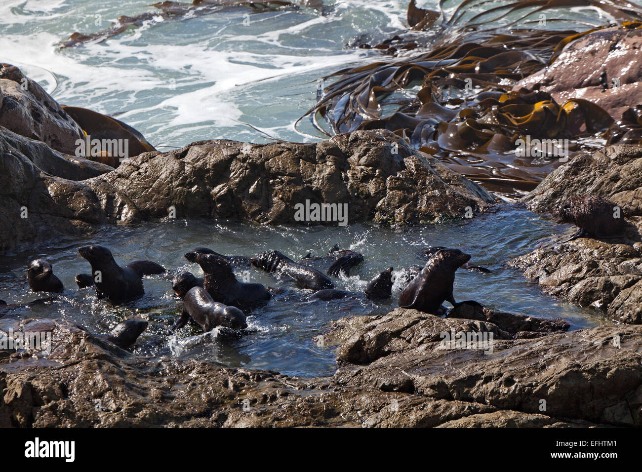 Young seals playing in a protected rocky pool away from the surge, Kaikoura, South Island, New Zealand - Stock Image