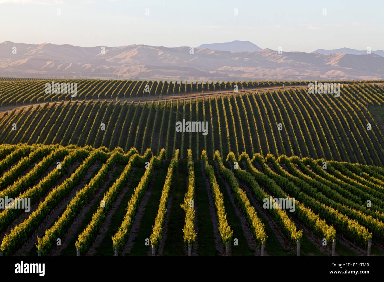 Rows of vines and vineyards from the Yealands Estate, Winery in Awatere Valley, South Island, New Zealand - Stock Image