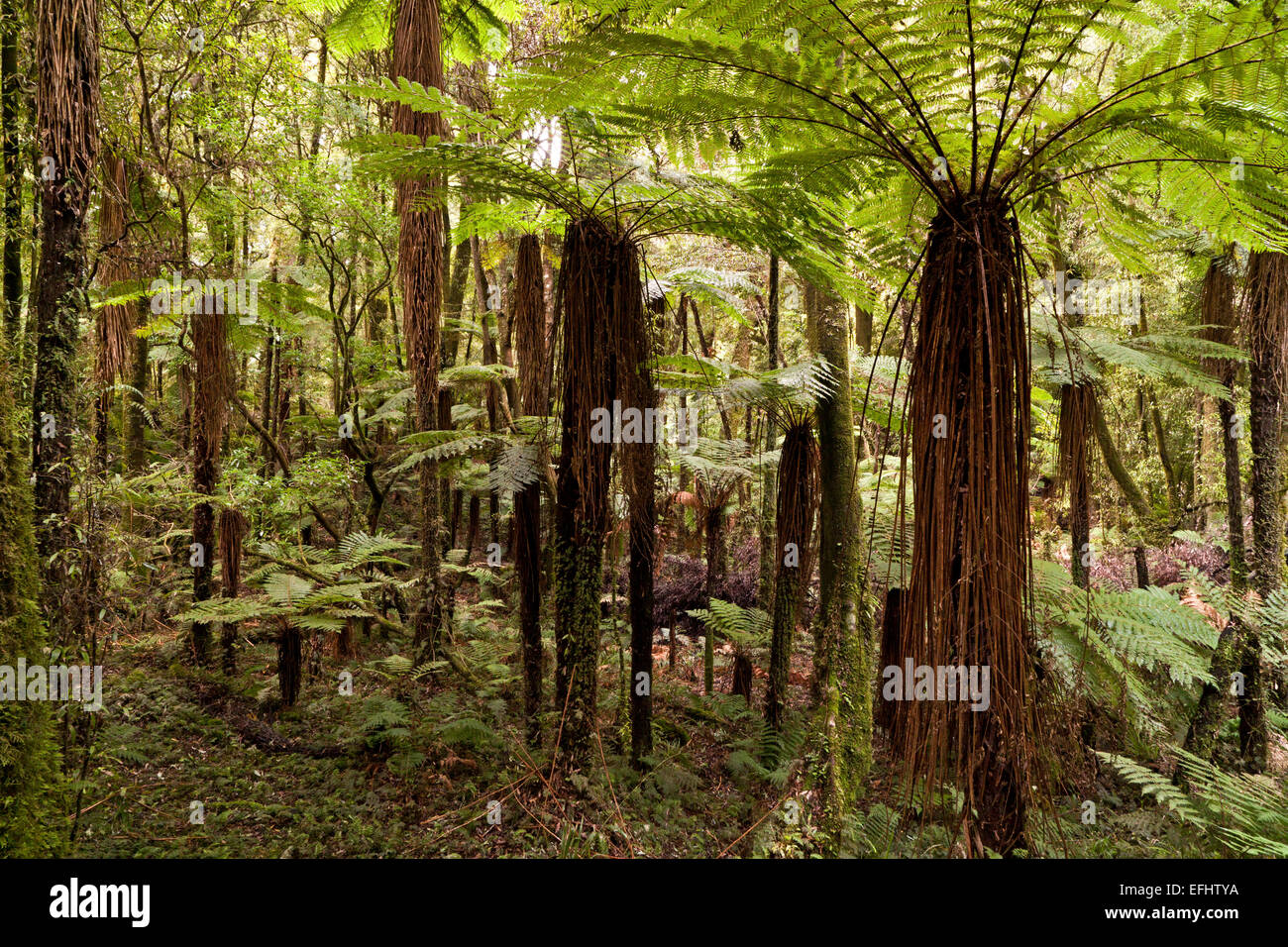 Green canopy from tree ferns and fern fronds in Whirinaki Forest, North Island, New Zealand Stock Photo