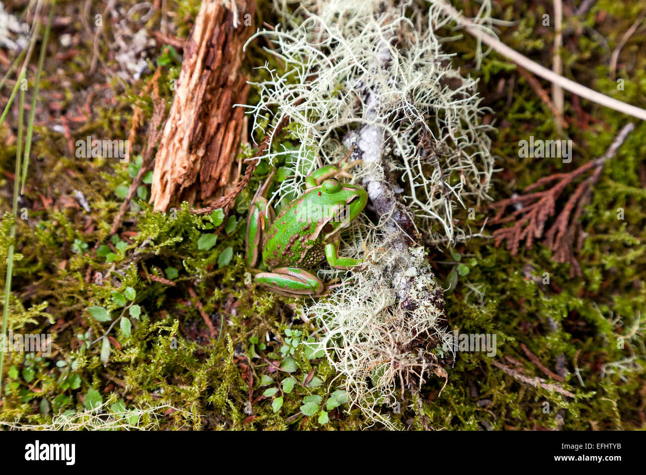 Croaking Grass frog on the forest floor next to white lichen, moss, Whirinaki Forest, North Island, New Zealand - Stock Image