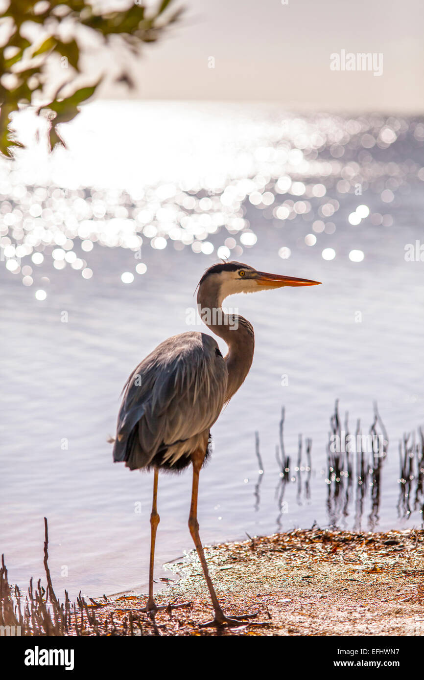 Permanent resident on Little Palm Island, the great blue heron named Spencer, Little Palm Island Resort, Florida - Stock Image
