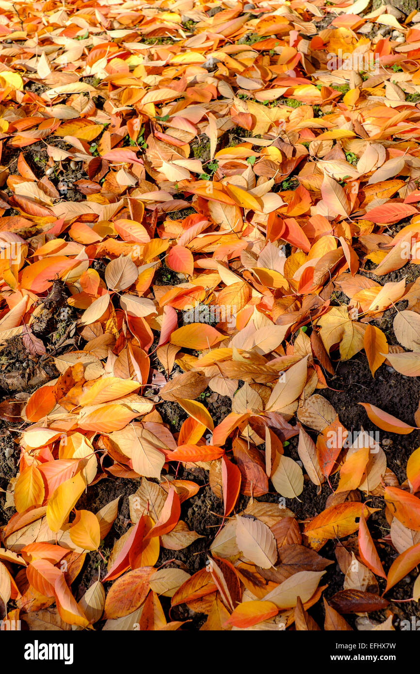 Dead leaves of Sargentii Prunus tree in autumn Alsace France Stock Photo
