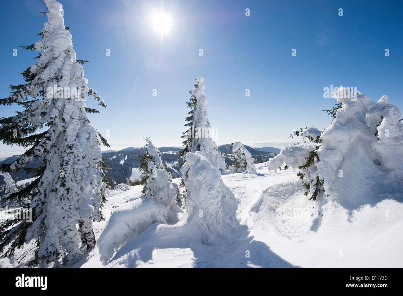 Snow covered fir trees, Feldberg, Black Forest, Baden-Wuerttemberg, Germany - Stock Image