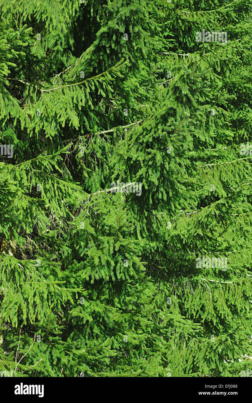 spruce fir tree woods natural background - Stock Image