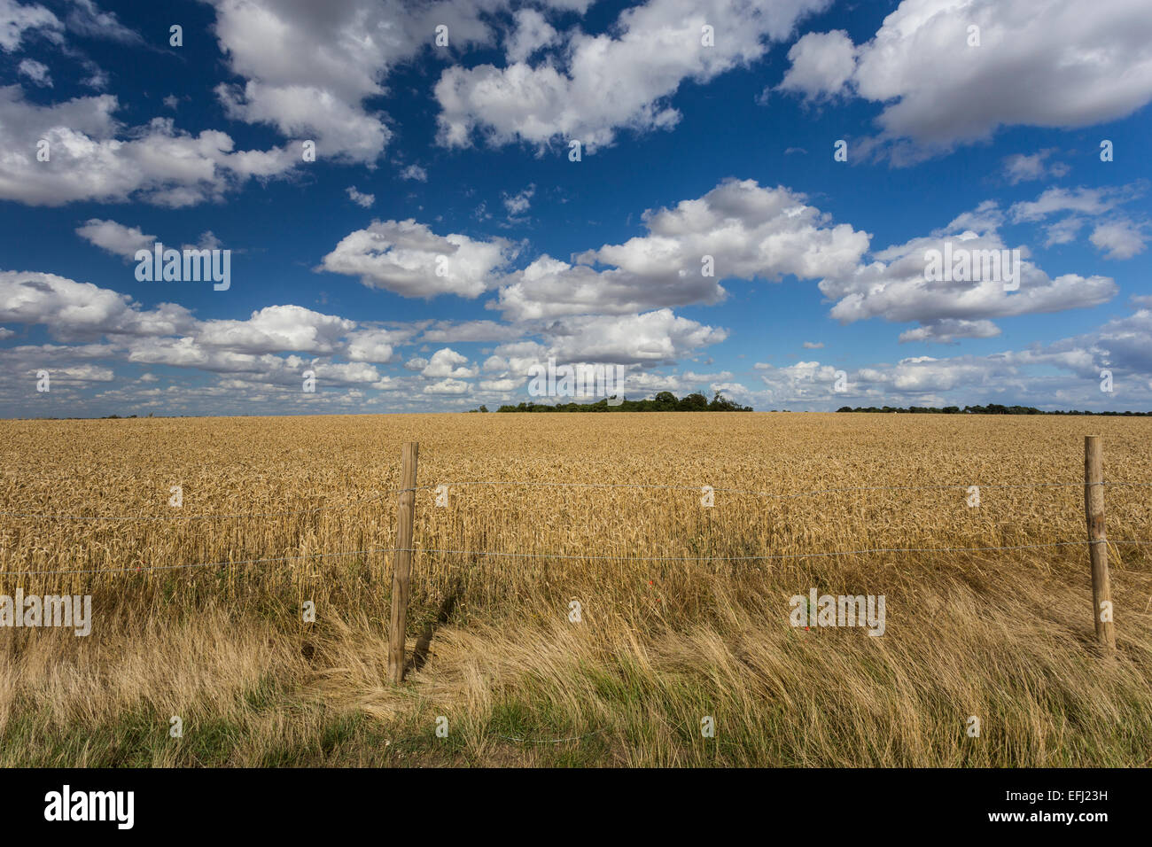 Wheat Field, Cadwell Farm, Ickleford, Hitchin, Herts, England, United Kingdom - Stock Image