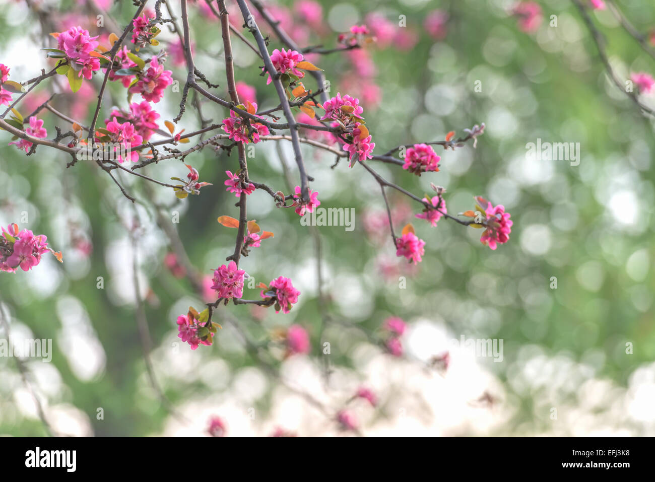 beauty sakura twig close up Stock Photo