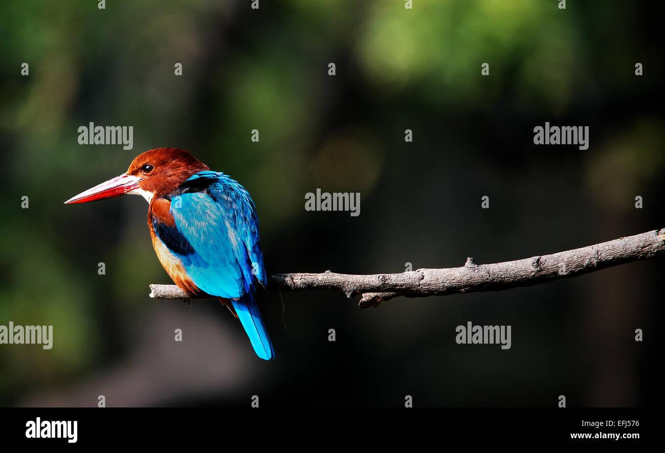 Kingfisher bird close up - Stock Image