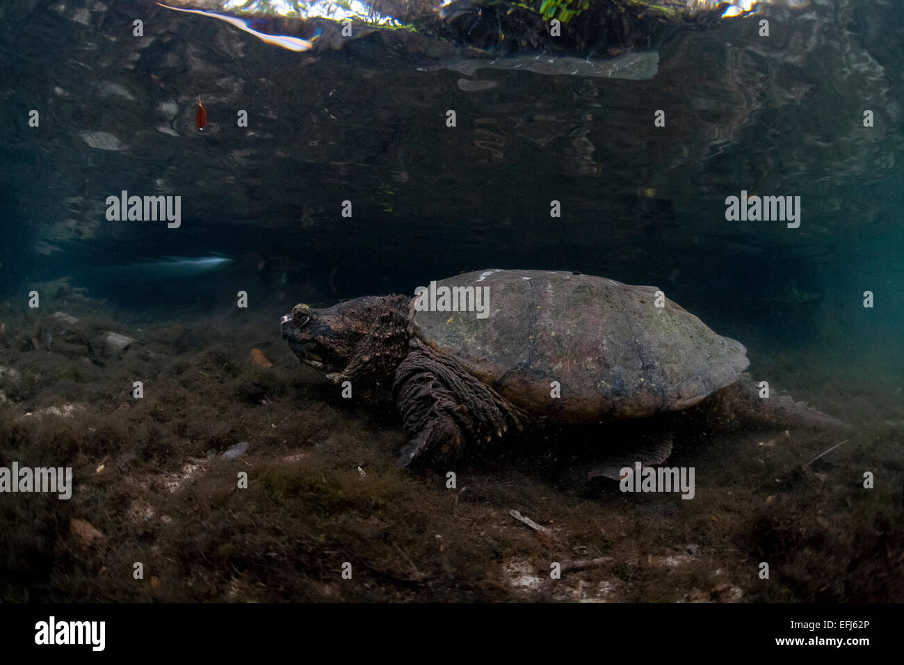 Common Snapping Turtle (Chelydra serpentina), Crystal River, Florida, United States Stock Photo