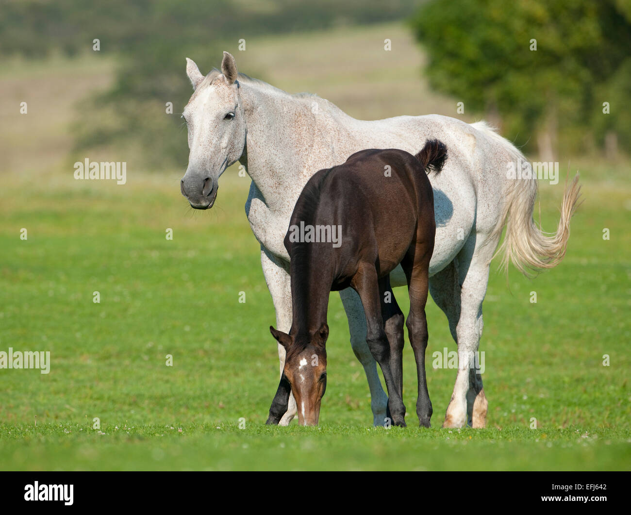 Horses, white mare and a foal with a dark coat, Thuringia, Germany - Stock Image