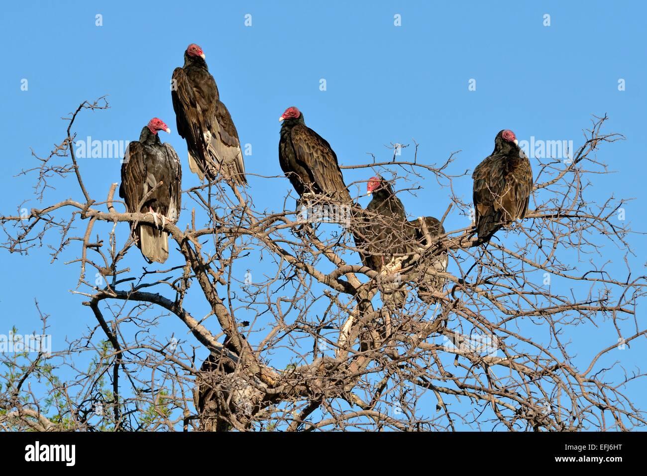 Turkey Vultures (Cathartes aura), Baja California Sur, Mexico - Stock Image