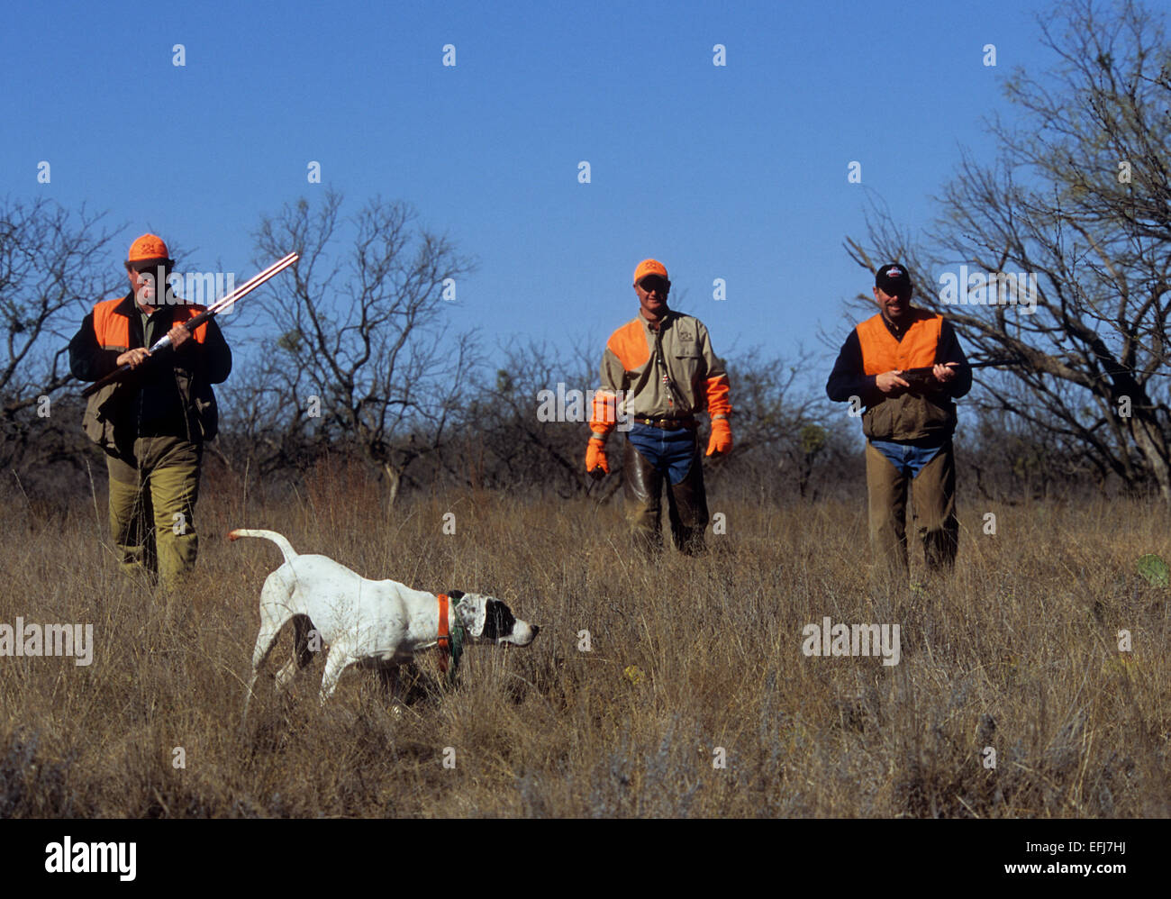 Texas quail hunters approach an English Pointer dog pointing a covey of quail - Stock Image