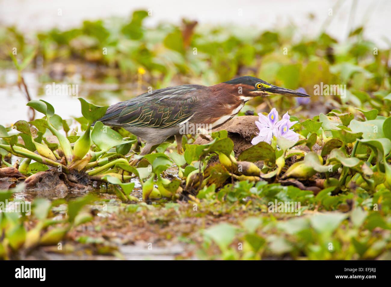 Green Heron, Butorides virescens, Refugio de vida Silvestre Cienaga las Macanas, Herrera province, Republic of Panama. Stock Photo