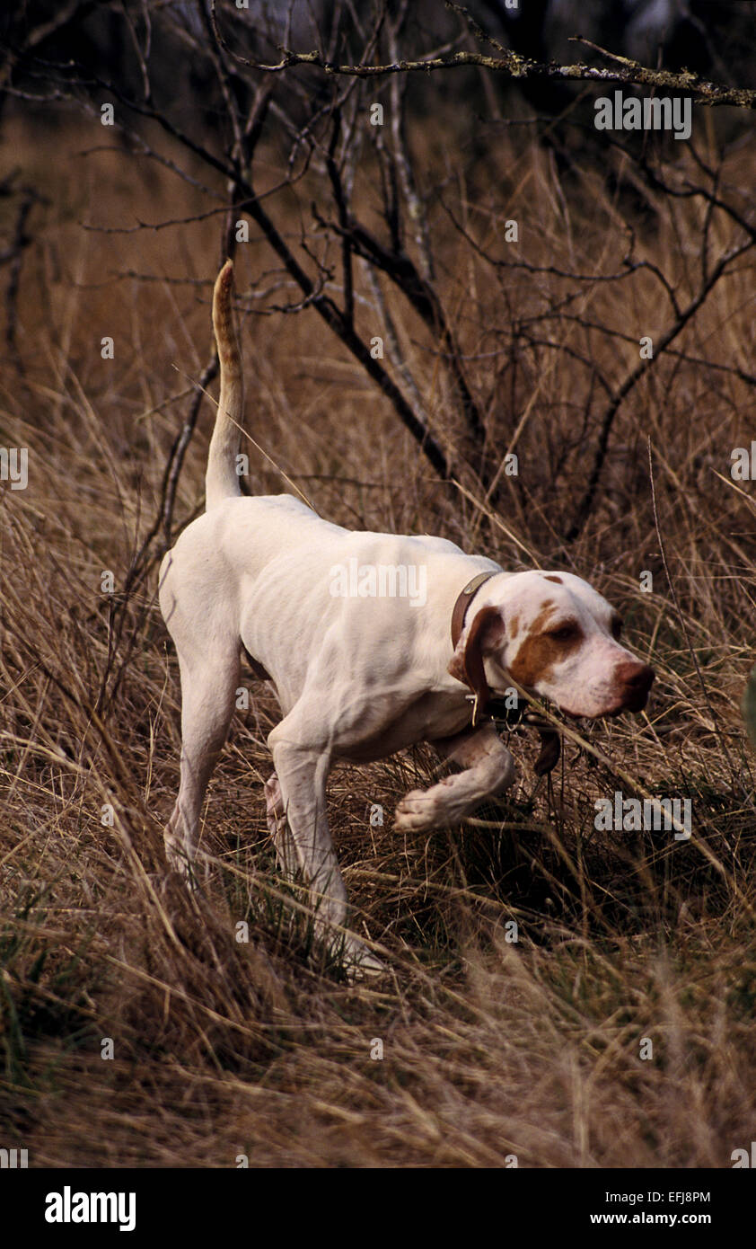 English pointer hunting dog pointing a covey of quail on a hunt in West Texas - Stock Image