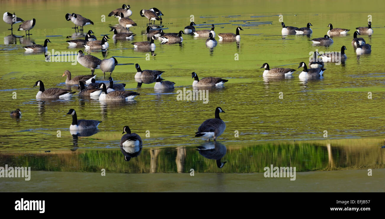 Canadian geese negotiating thin ice in North Yorkshire, England, UK - Stock Image