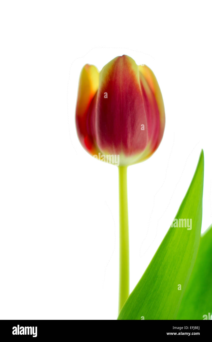 Close up of a single beautiful tulip isolated on white. - Stock Image