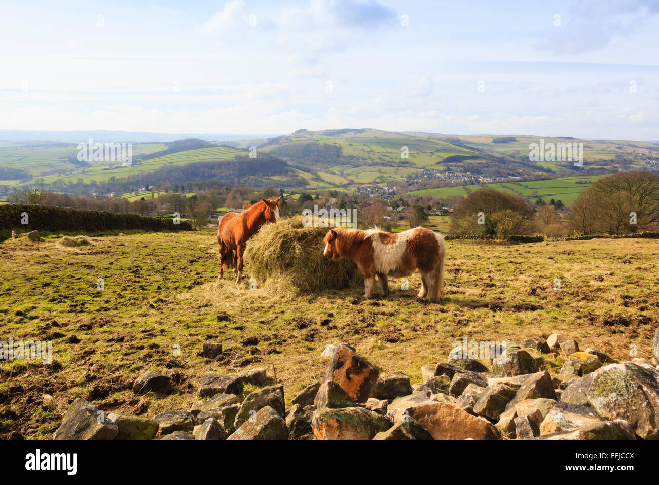 Pony's feeding under Curbar Edge, Peak District - Stock Image