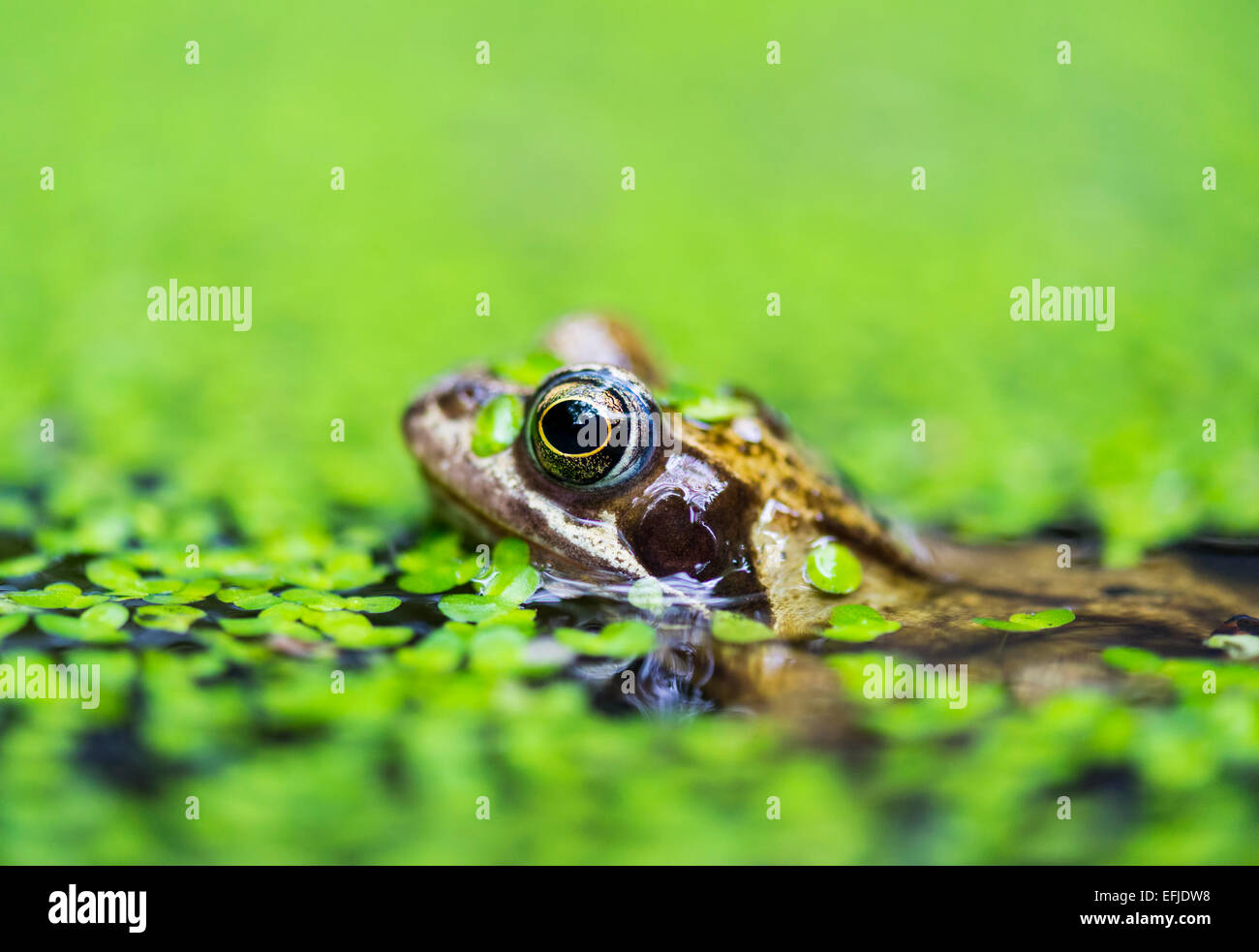 Common frog (Rana temporaria) in garden pond covered in duckweed - Stock Image