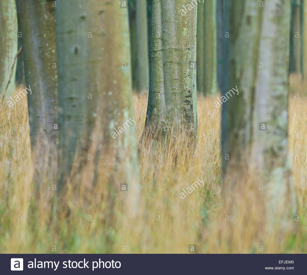 Beach forest, Jasmund National Park, Ruegen, Mecklenburg-Western Pomerania, Germany Stock Photo