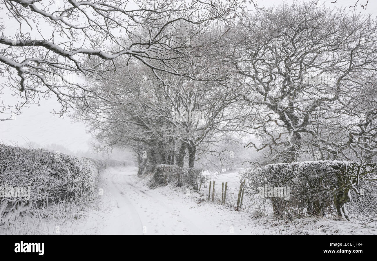 An English country lane on a snowy winter morning. Snow covered hedges and large Oak trees. - Stock Image
