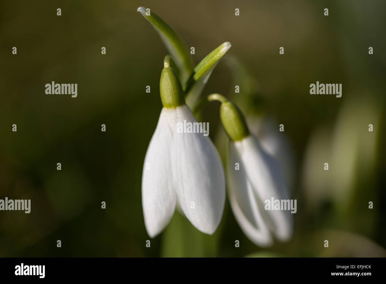 Macro of snowdrop, Galanthus at Kerry churchyard. - Stock Image