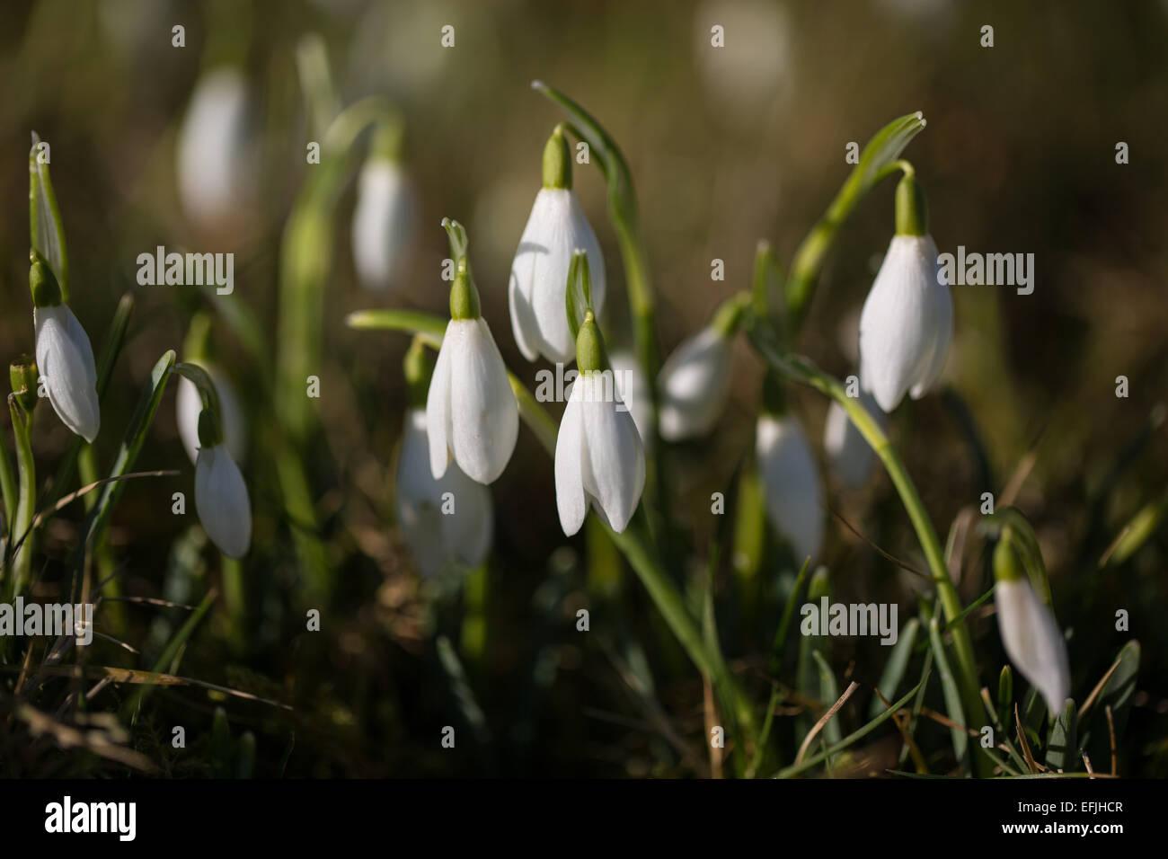 Close-up of snowdrop - Galanthus - at Kerry churchyard, Powys. - Stock Image