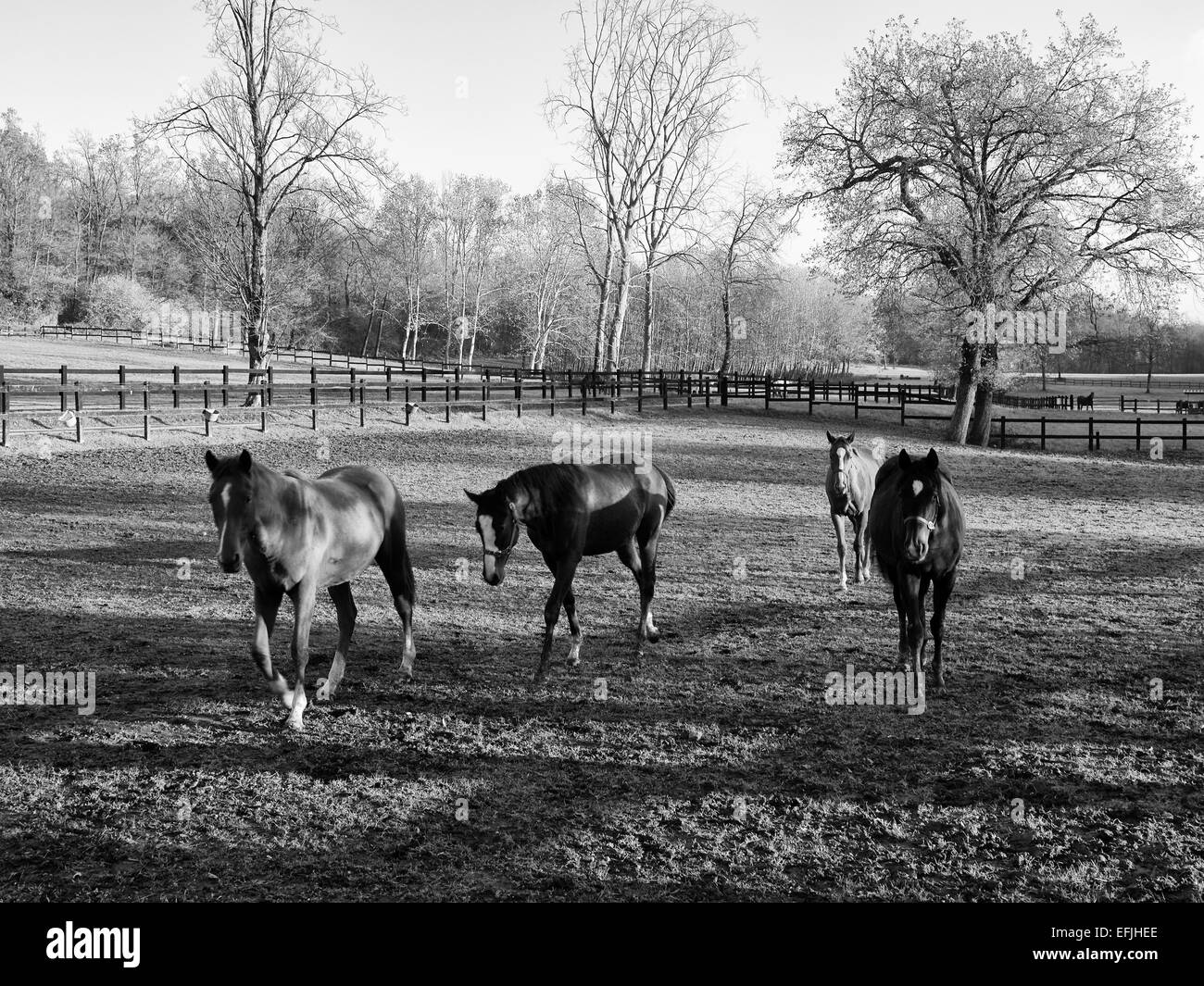 Horses walking on paddock - Stock Image