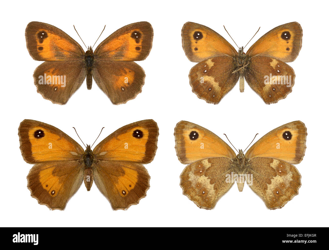 Gatekeeper - Maniola tithonius - male (top row) - female - bottom row. - Stock Image