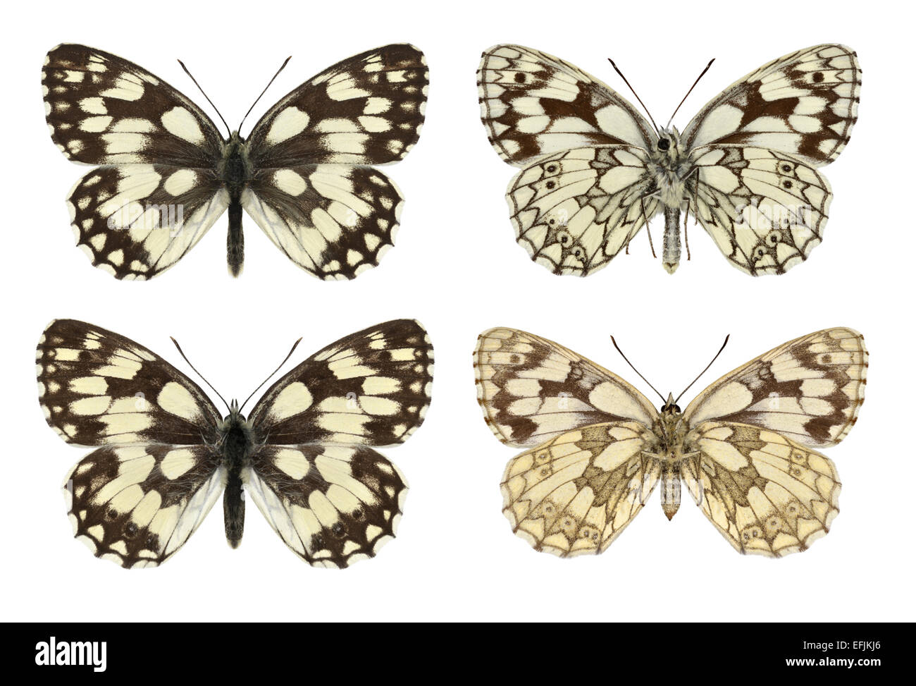 Marbled White - Melanargia galathea - male (top row) - female (bottom row). - Stock Image