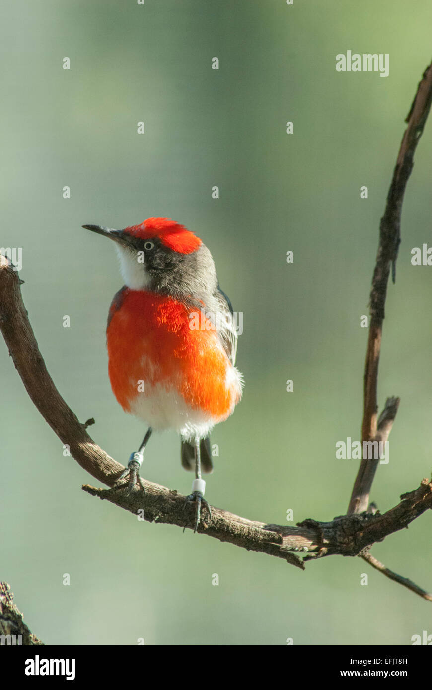 Crimson chat (Epthianura tricolor) Alice Springs, Central Australia. Stock Photo