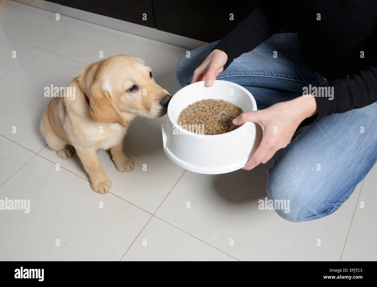 Yellow Labrador Golden Retriever Mix Puppy Impatiently Waiting For