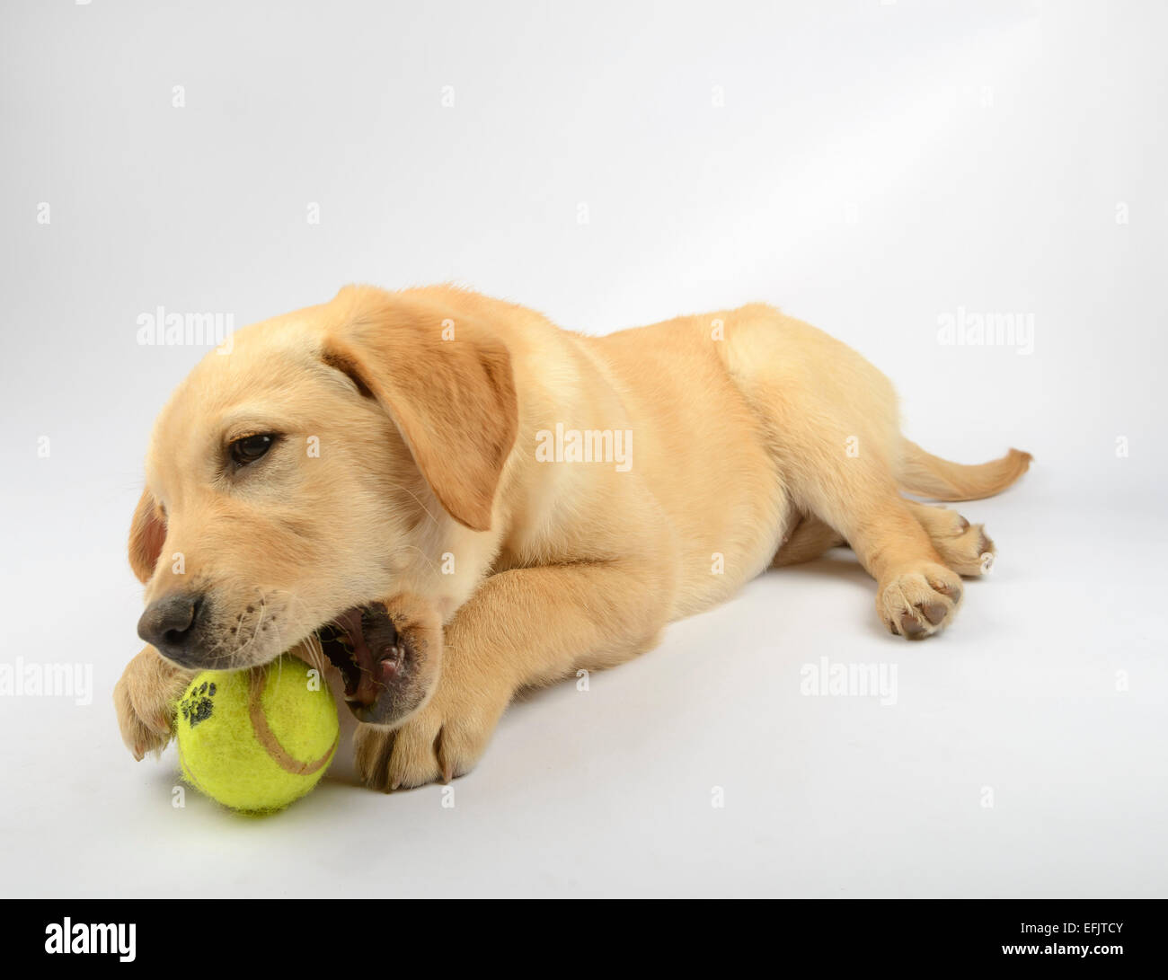 Cute Yellow Labrador Golden Retriever Mix Puppy Playing With A