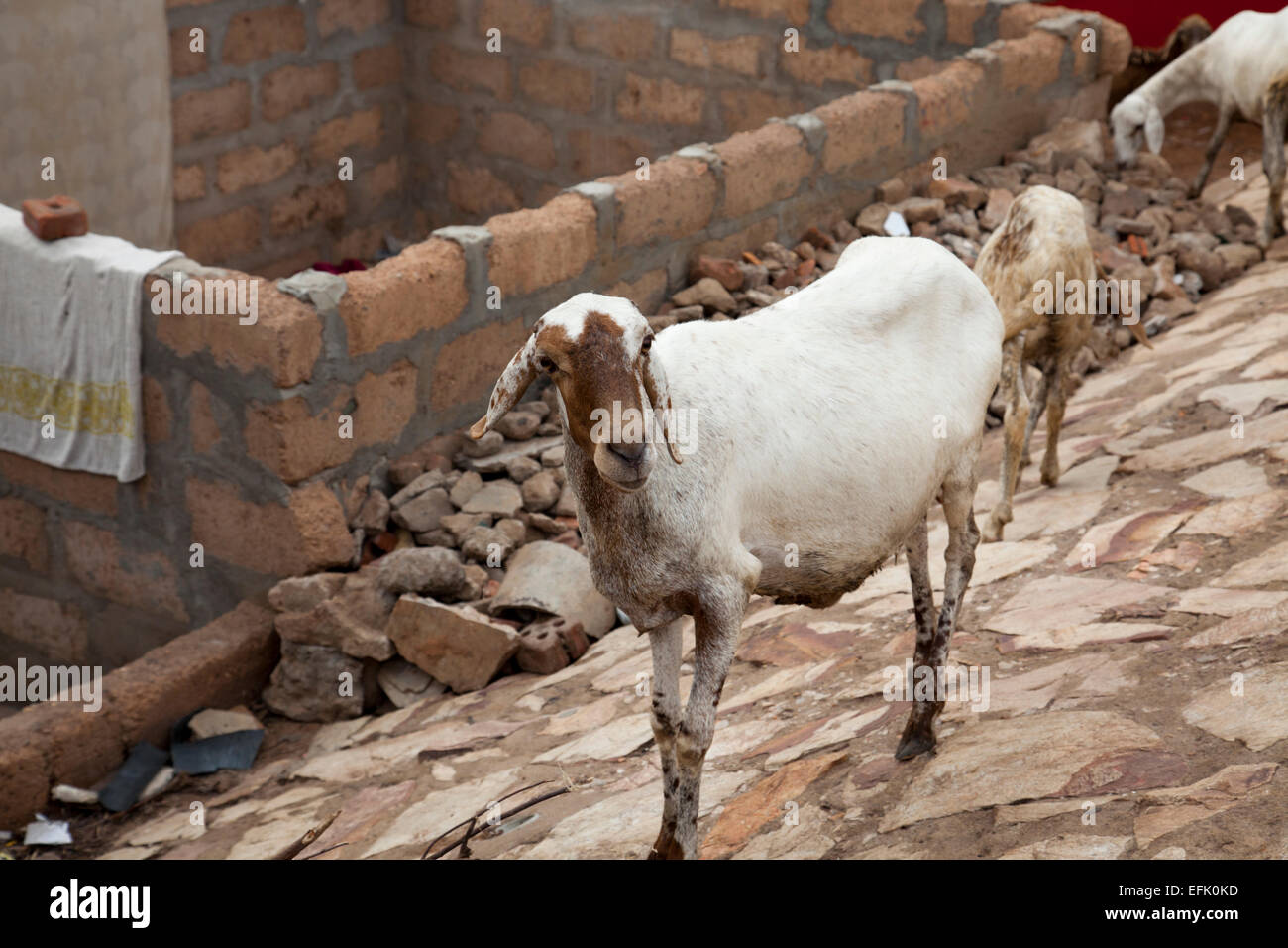 Family of goats wander the streets in a shanty town area of Accra, Ghana - Stock Image