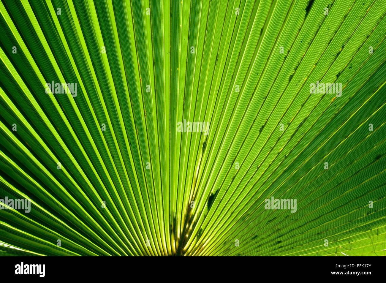 Mexican fan palm (Washingtonia robusta), Baja California Sur near Las Palmas Beach near Todos Santos - Stock Image