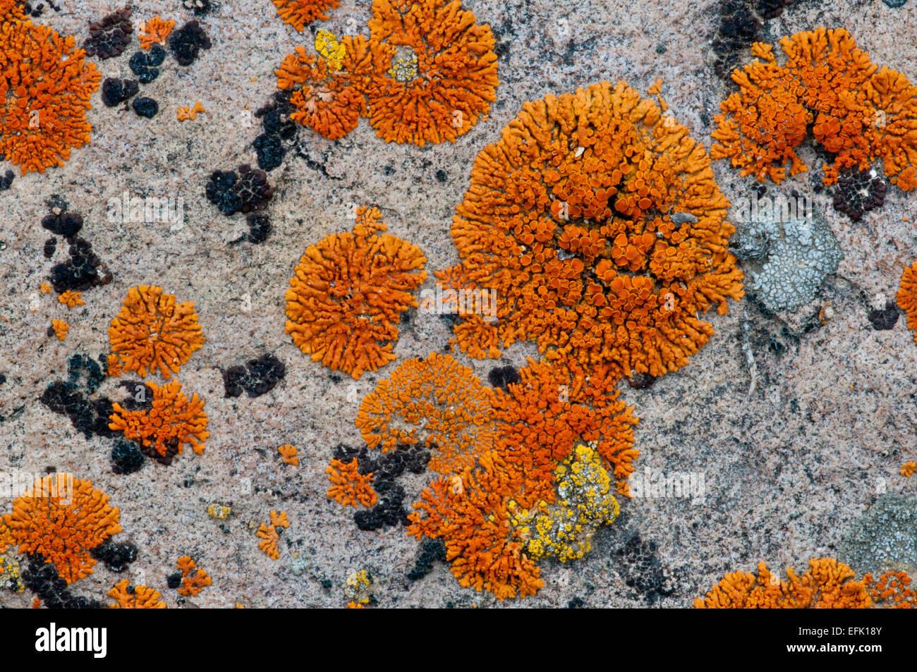 Firedot lichen (Caloplaca sp.) on a granite boulder in the Boulder Mountains, Idaho - Stock Image