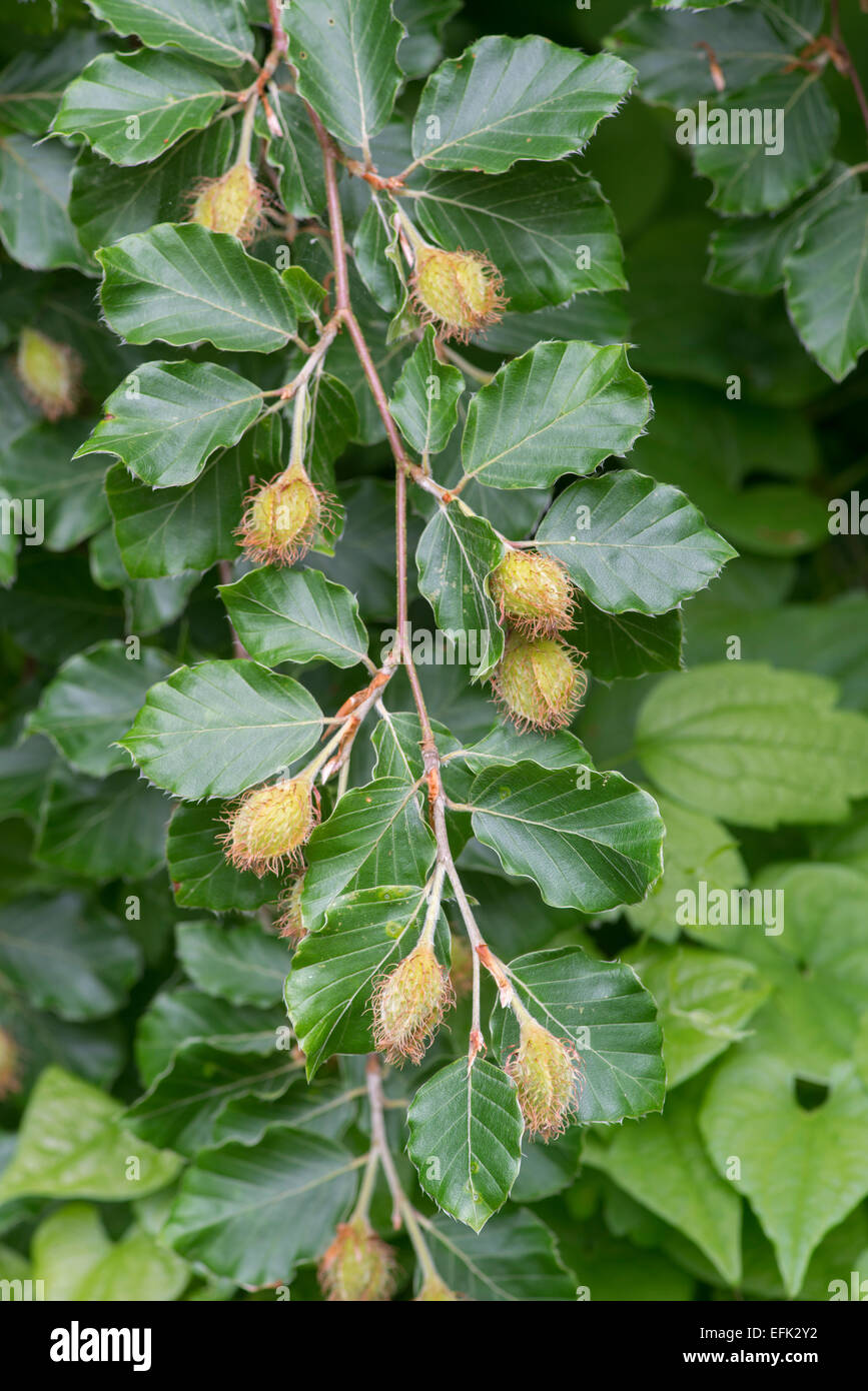 Beech Tree: Fagus sylvatica. Leaves and fruits in spring - Stock Image