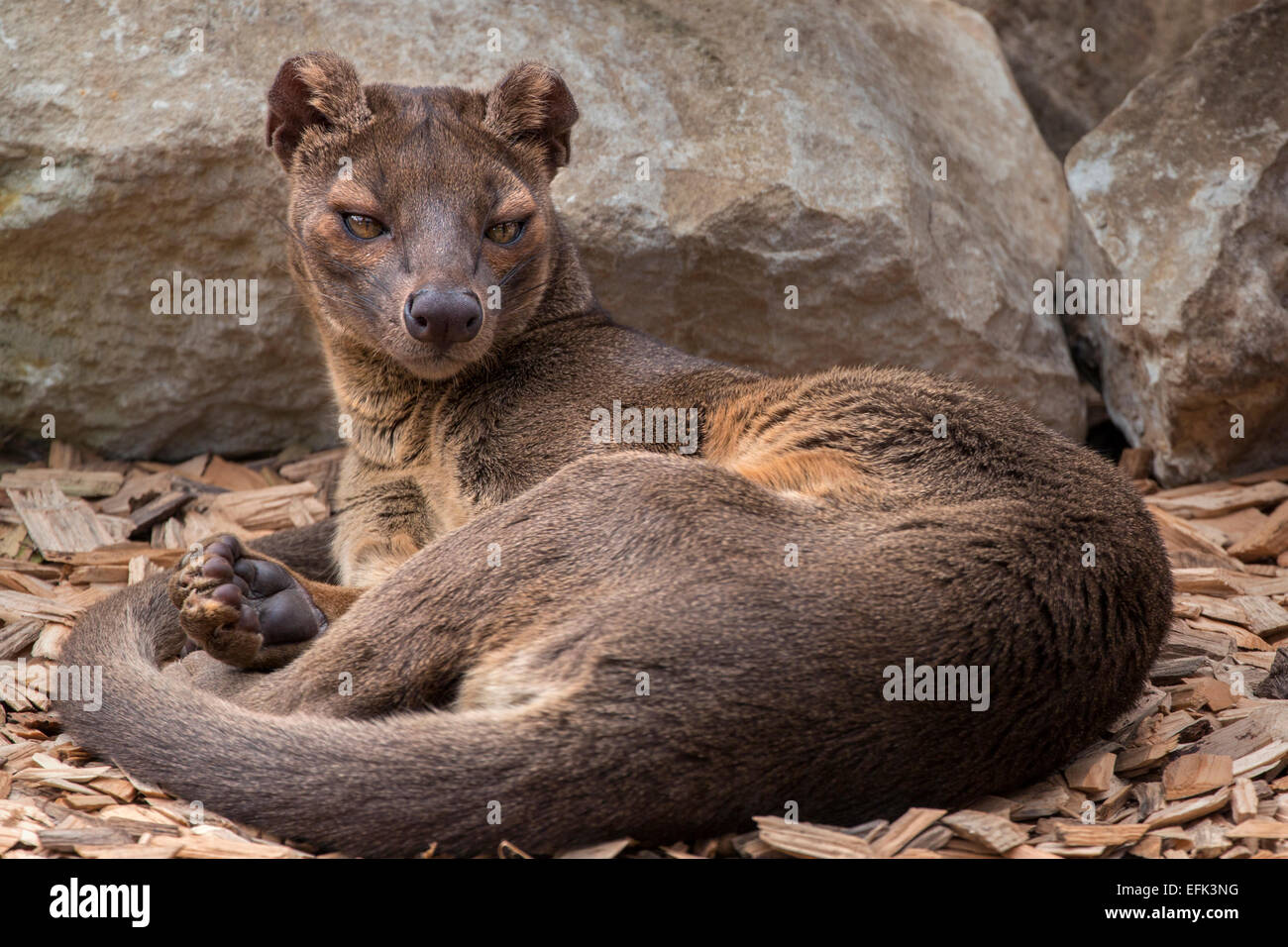fossa stock photo 78481356 alamy