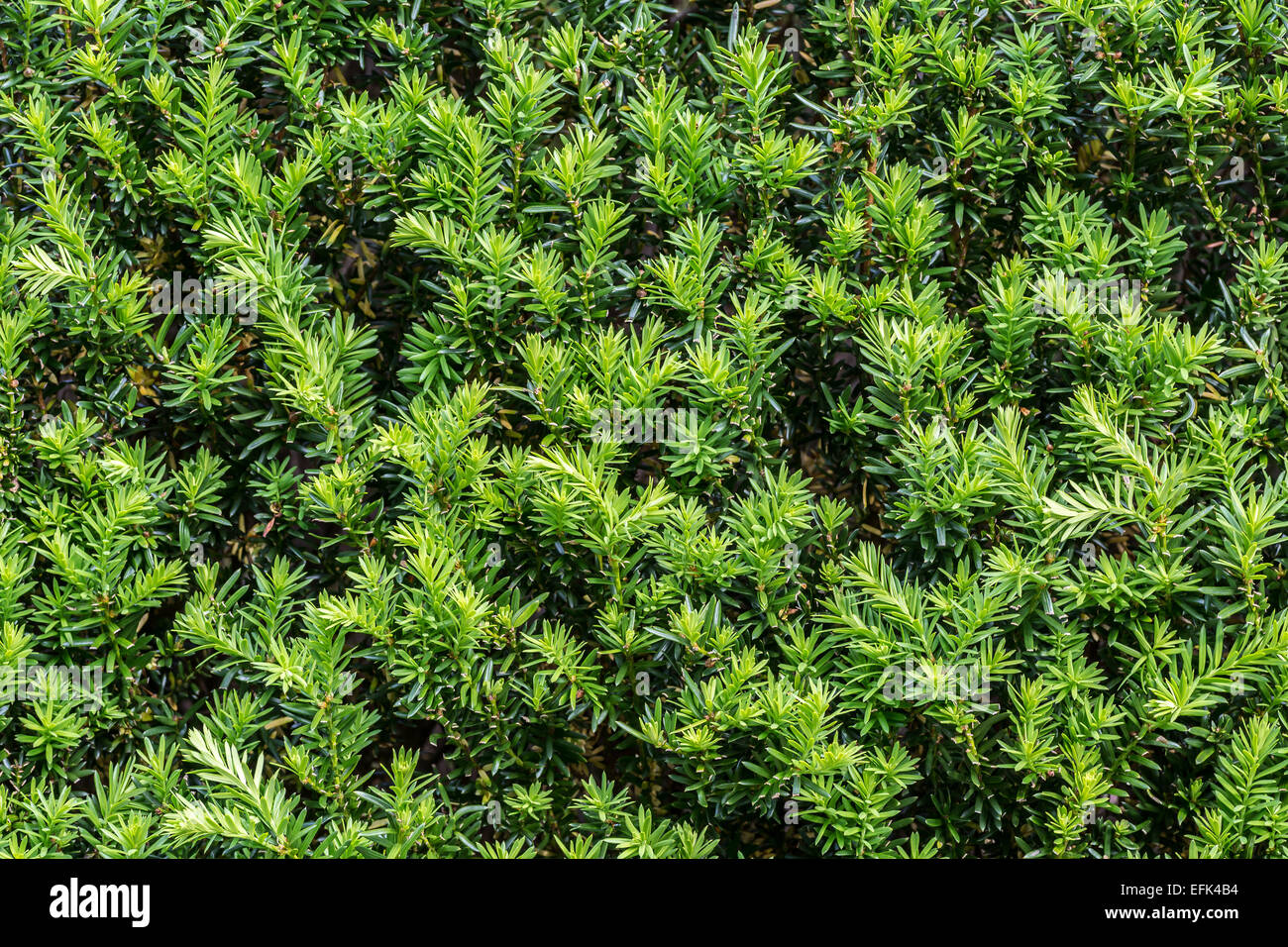 Close up of foliage of a beautiful yew hedge. - Stock Image