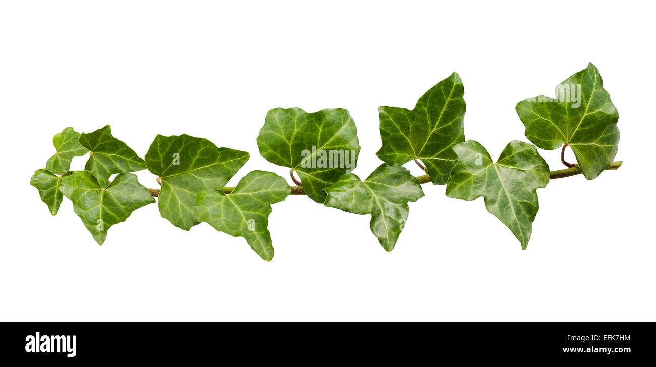 Branch of ivy isolated on white - Stock Image