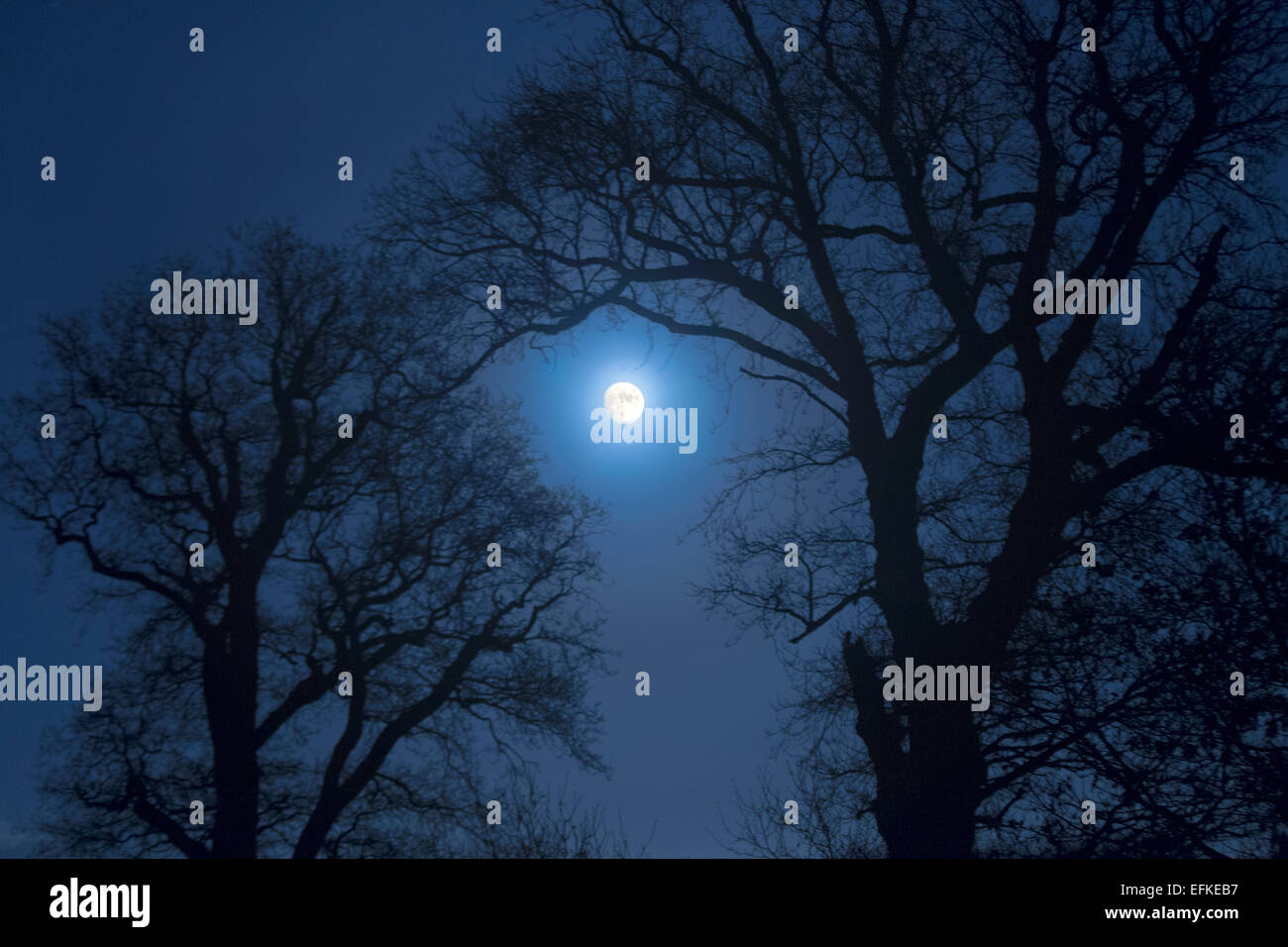 Farmland Oaks & Rising Moon Norfolk Winter - Stock Image