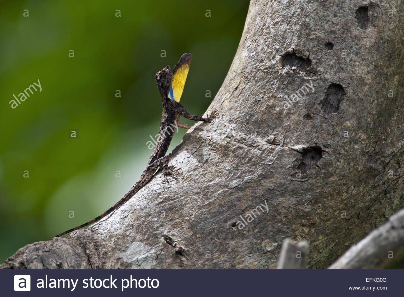 Spotted flying dragon (Draco maculatus maculatus) showing yellow gular flag - Stock Image
