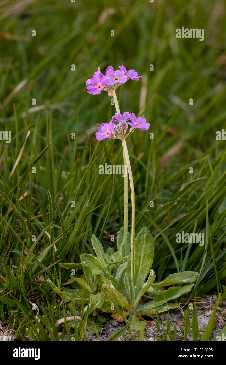 Birdseye primrose (Primula farinosa) flowering in a clearing in Challan Hall Woods, Cumbria. May. - Stock Image