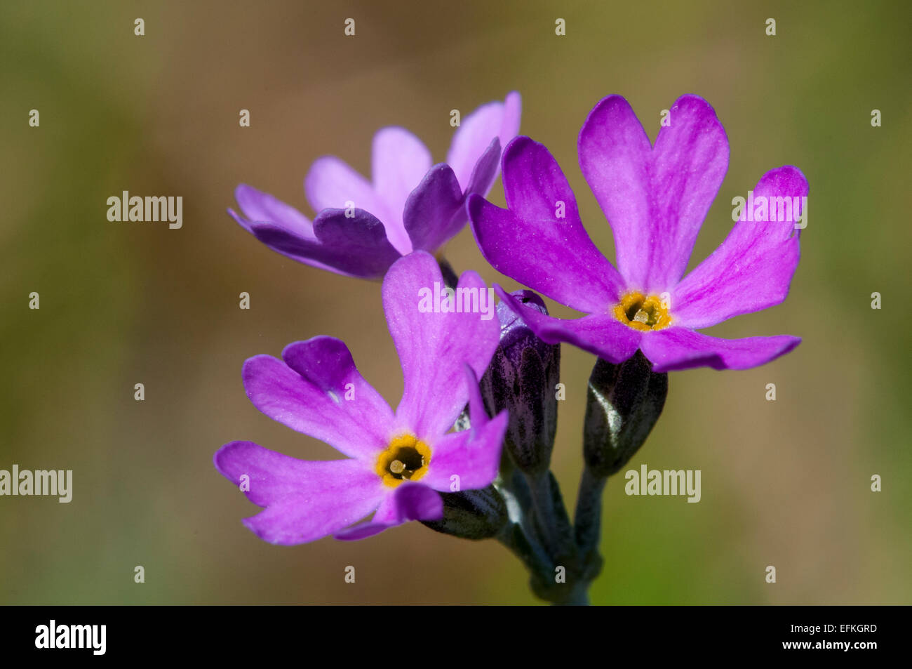 Close-up on the flower head of a birdseye primrose (Primula farinosa) flowering in a clearing in Challan Hall Woods, - Stock Image